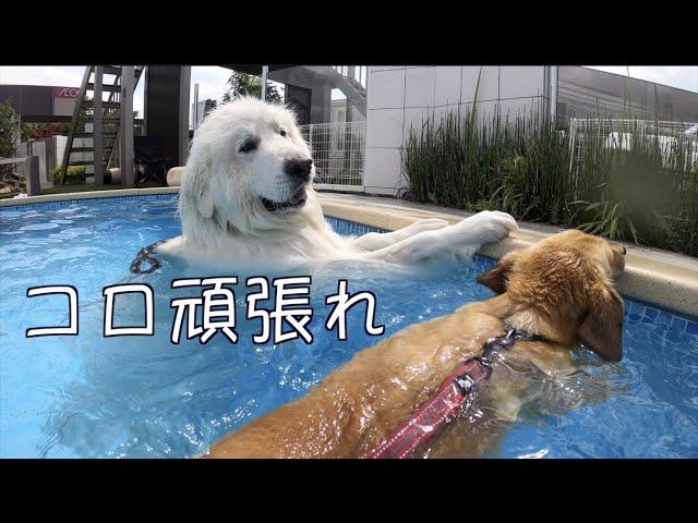 プールで運動不足を解消する4頭 グレートピレニーズ他