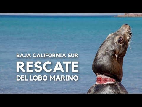 Baja California Sur al rescate de sus Lobos Marinos | Reportaje