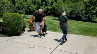 K9 Holly, Off Leash Protection, Personal Protection Dog for Sale, Dutch Shepherd