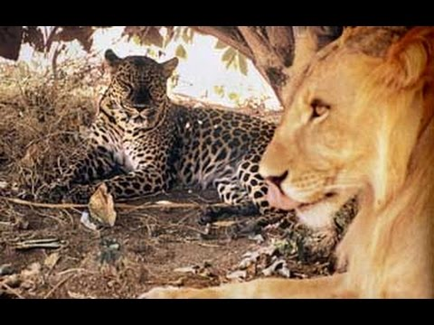 a leopard a lion and a We try to figure out who would win in a fight: big cat shootout - lion vs tiger vs mountain lion vs jaguar vs leopard.