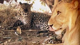 Unlikely Friendship Lion and Leopard Together in the Wild thumbnail