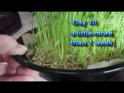 Growing Lentil Sprouts and Lentil Microgreens