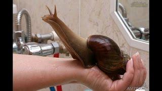 Ахатинская улитка трапезничает свежим огурцом сегодня Ahatinskaya snail trapeznichat cucumber today