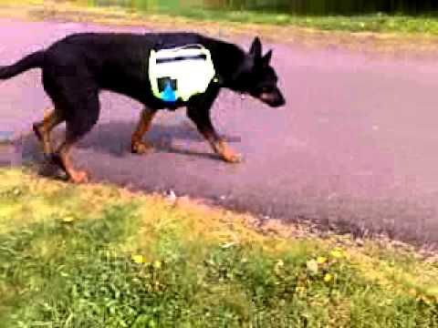 Rocky, the doberman german shepherd mix at the trail - YouTube