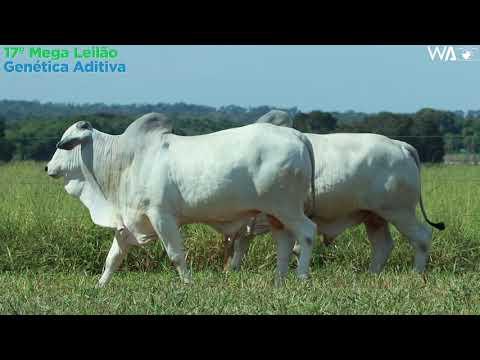 LOTE 29 - DUPLO -  REMC A 2251, REMP 803 - 17º Mega Leilão Genética Aditiva 2020