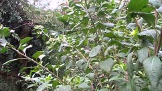 介紹藥用植物及民間常用青草藥  巴西國寶,扁桃斑鳩菊 ,南非葉。苦葉,桃葉斑鳩菊 thumbnail