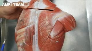 Sırt Kasları Anatomisi