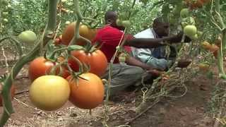 Horticulture in Kenya with Hortipro Ltd  Greenhouses