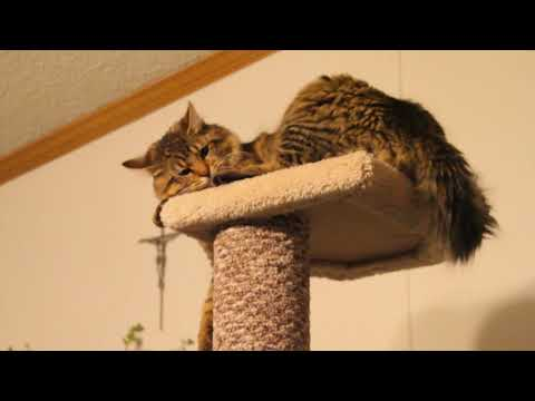 Maine Coon cats reaction to new cat tree, tower, condo.
