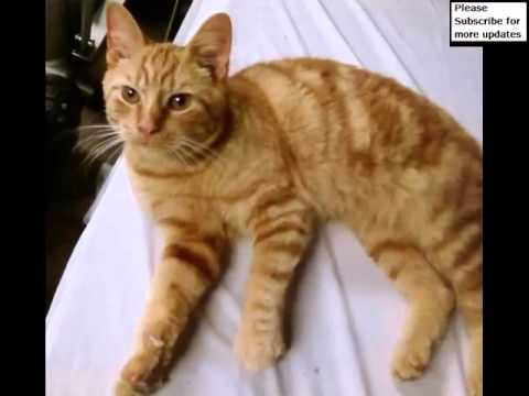 American Shorthair Orange And White | Set Of Cat Picture Collection
