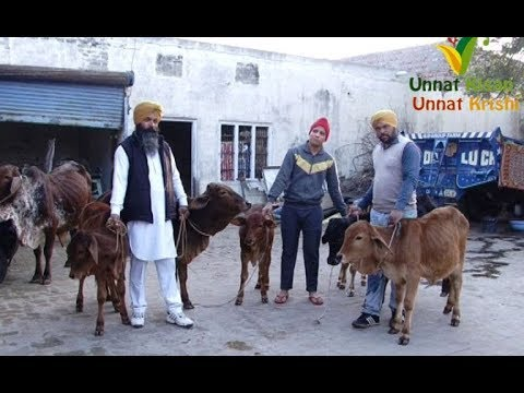 MERCHANT of  DESI COW  | All types of Desi cows available  for sale