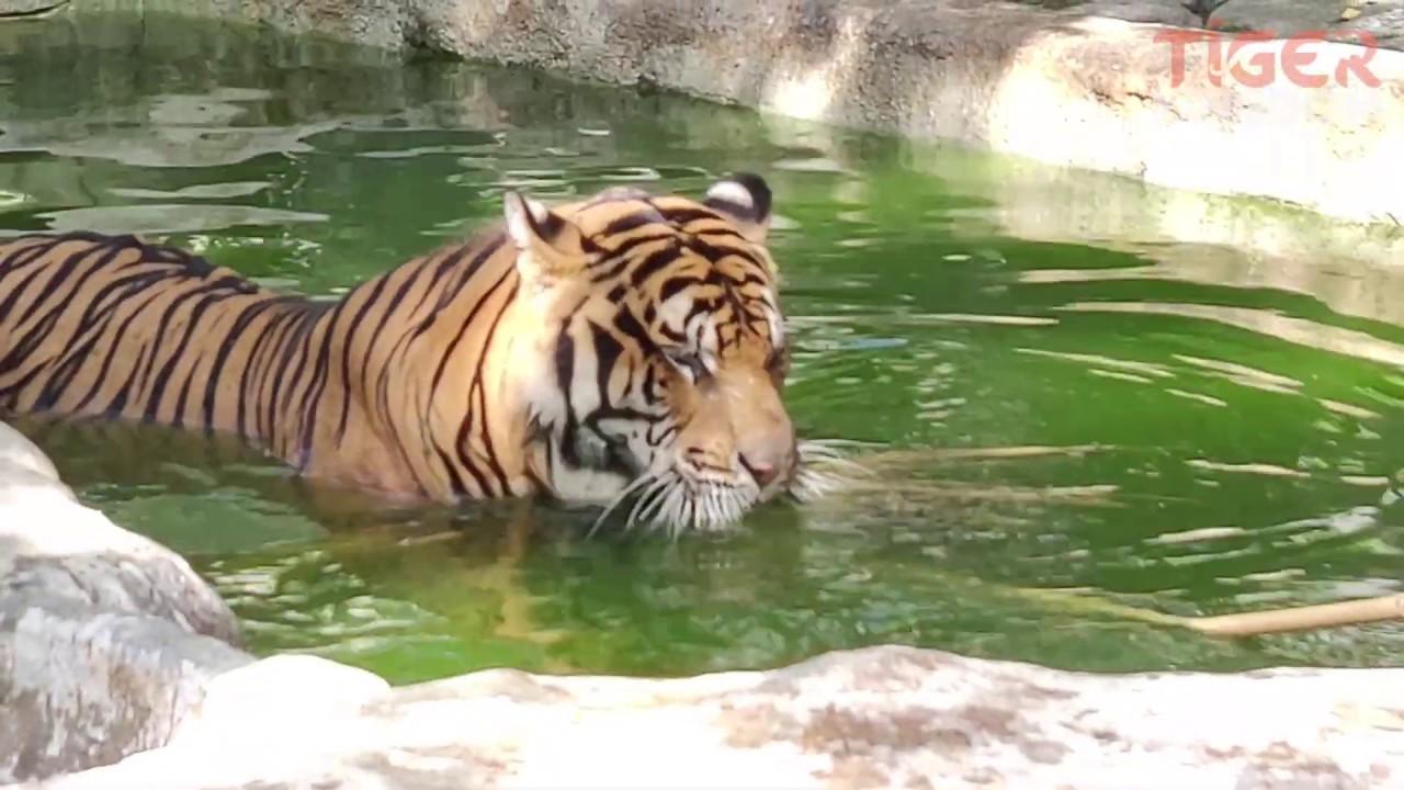 Entering the Giant Tiger Enclosure! - Tiger Kingdom Chiang Mai.