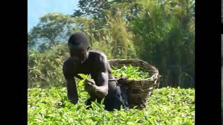 Tea Plantation Worker in Uganda | Tea Pursuit