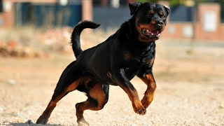 Amazing Extreme Trained And Disciplined Rottweiler Dog | Rottweiler dog breed