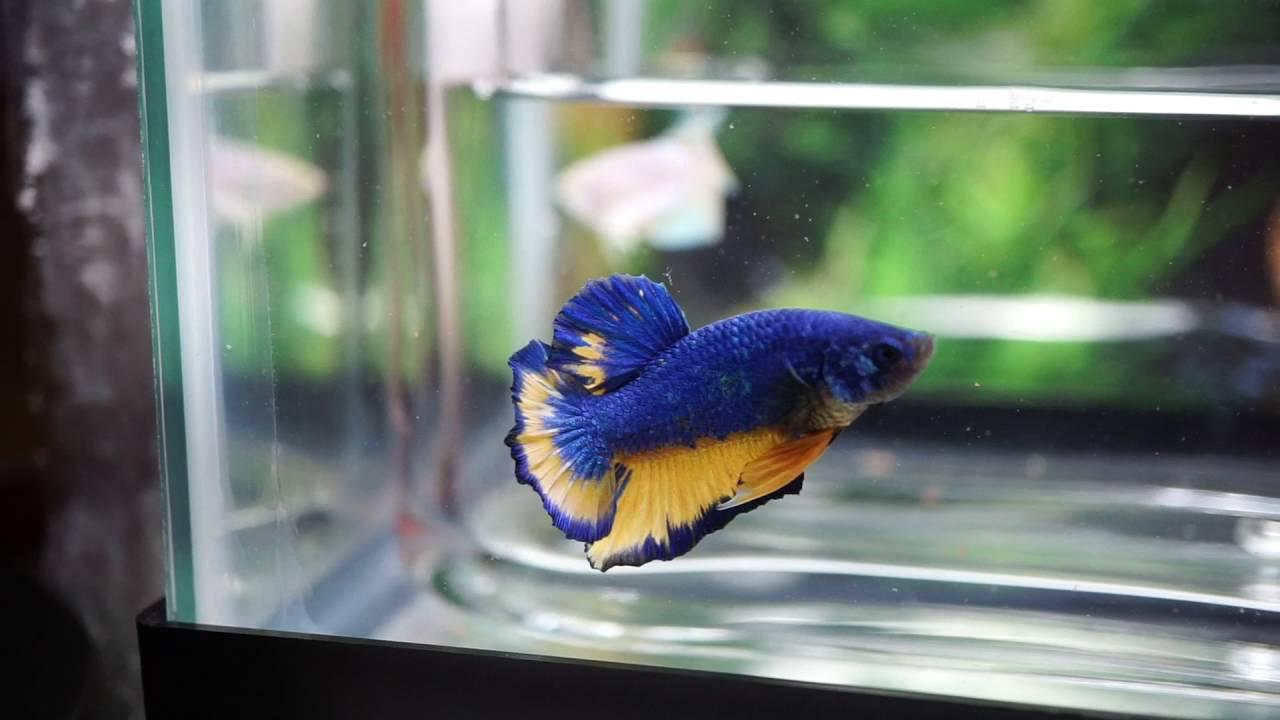 Live Betta Fish Male Blue Mustard Gas Hmpk Youtube