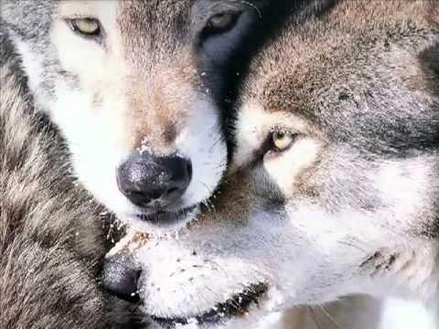 Enya - Crying Wolf - le chant du Loup -  ( bvoulkano@yahoo.com )