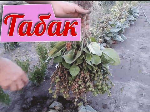 Как сушить табак (выращивание и заготовка табака)
