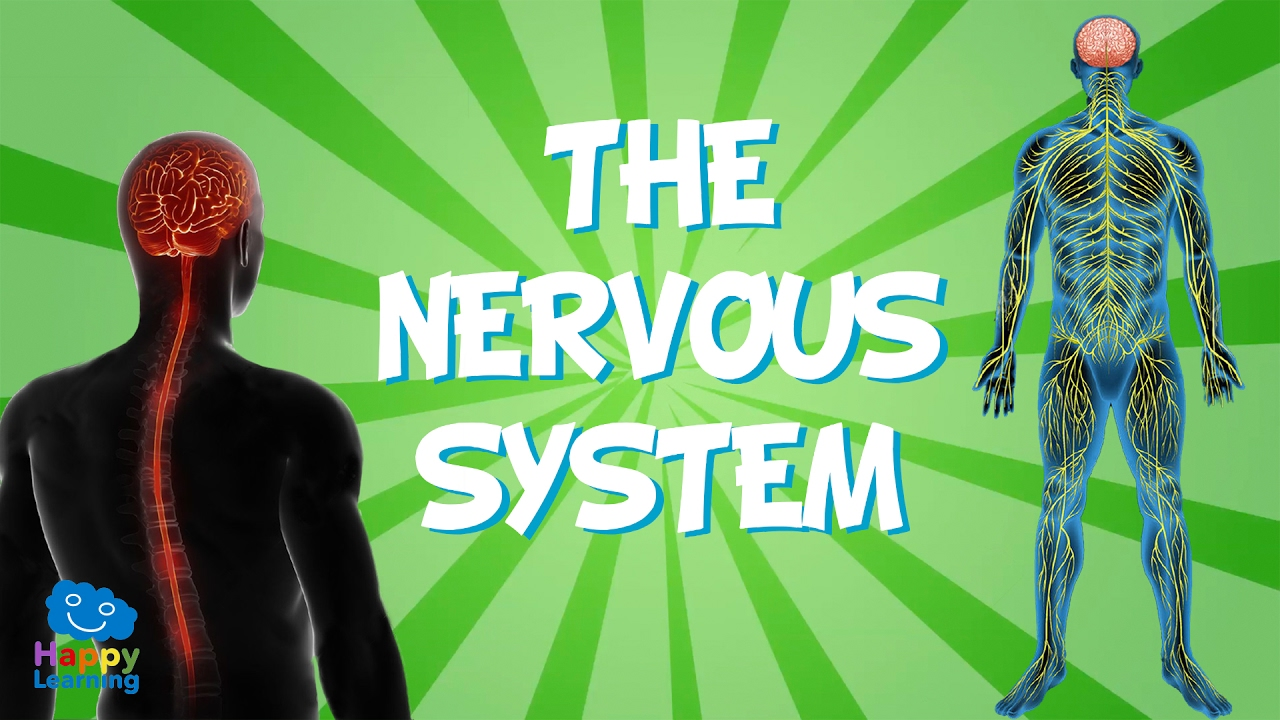 hight resolution of the nervous system educational video for kids