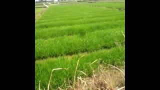 2.8 Hectares Rice Field For Sale in Bulilis Ubay Bohol Philippines
