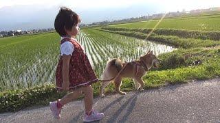柴犬タロウと家族の日記。 リードトレーニングで徐々に引っ張らなくなっています。