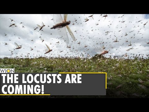 Worst crisis of Locust swarms in 7 decades hits Africa | World News | WION News