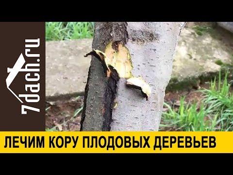 Вопрос: Почему трескается кора на плодовых деревьях ниже кроны, чем лечить?