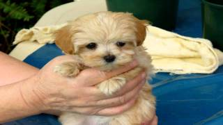 Hi, This Is Cindycindy Is A Toy Maltese/shih Tzu Cross Cheap Small Puppies For Sale