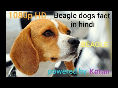 Beagle dogs fact in hindi/dogs fact/popular dogs / #ketan