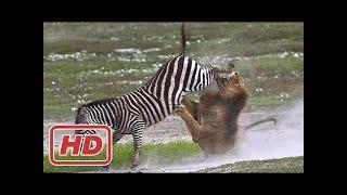 巨大な戦い▻▻ ライオンシマウマの狩猟!. 巨大な戦い▻▻ ライオンシマウ...