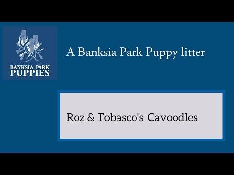 Roz & Tobasco's Cavoodles