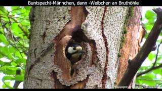 Buntspecht-Eltern an Bruthöhle - Great spotted woodpecker - Dendrocopos major (1080p HD)