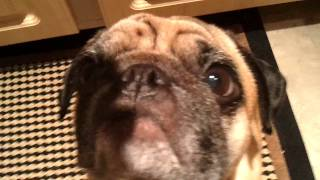Marty Italian Pug Eats Cheese.