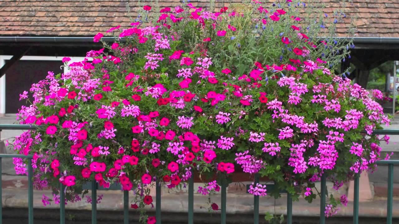 Les Géraniums d´Alsace - Beautiful Geraniums in Alsace