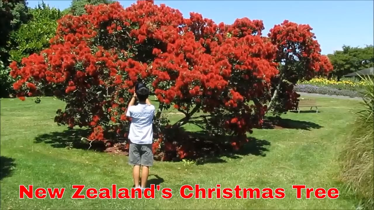 New Zealand Christmas Tree.Auckland Travel Guide New Zealand S Christmas Tree The Pohutukawa Tree