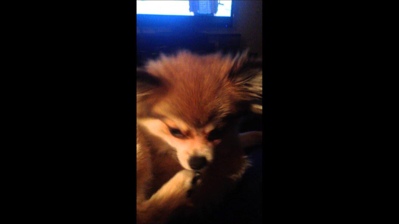 fox the pomeranian waking up youtube