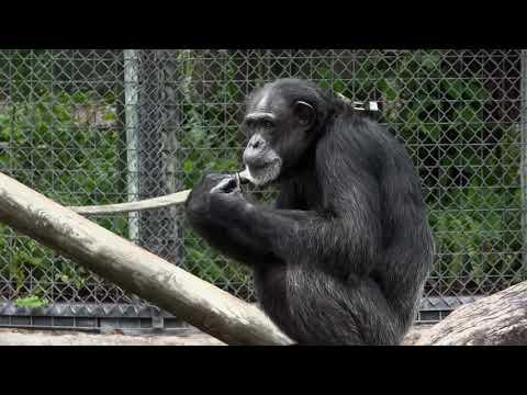 Free Chimpanzee at Zoo Stock Video Footage   Vidsplay com