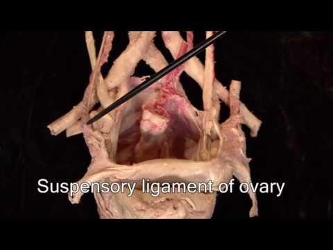 anatomy-series,-the-female-urogenital-system-by-dr.-shakti-chandra