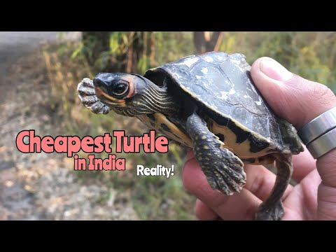Cheapest Turtle In India | The Truth
