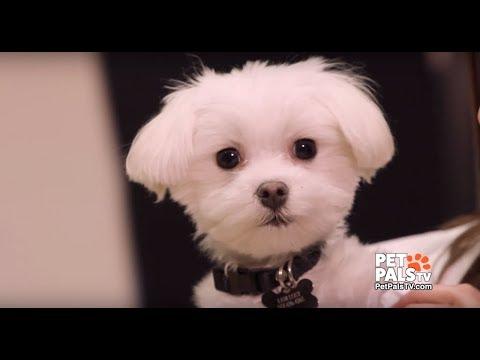 Meet Pistachio, the miracle Maltese - Full episode