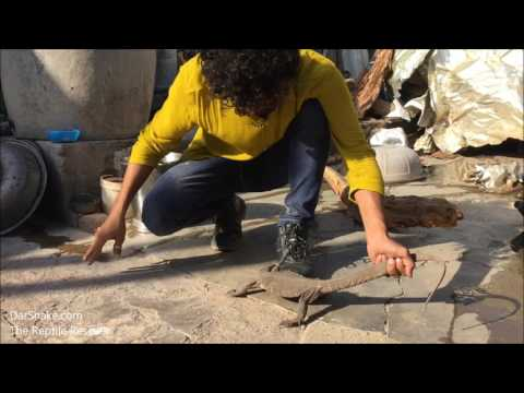 Monitor lizard विषखोपड़ा Wildlife & Reptile Rescue Release Video.