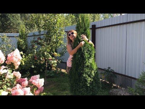 Моя любимая дача 24 августа 2019 г. Купила и посадила новые туи. Удобрила розы. 🌹