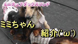 【ミニチュアダックス】ドッグハウスのミミちゃん紹介(*´▽`*)