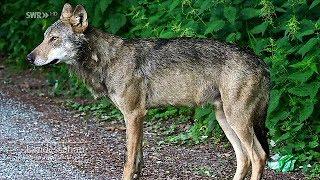 Der tote Wolf vom Schluchsee - wie starb er?