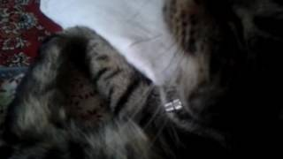 Как сделать, чтобы ваш кот/кошка лежала на месте почти смирно.