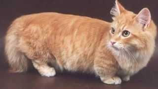 Кошки с короткими лапками показ слайдов 2015!