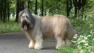 Franze The Briard  Funniest Dog In The World (NOT Susan Boyle)