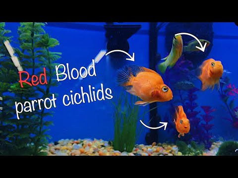 "Buying My *DREAM* Fish Finally! ""Blood Parrot Cichlids"""