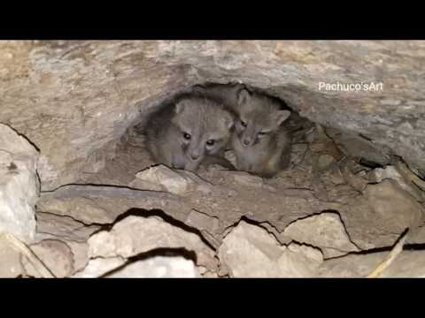 Grey Fox Cubs