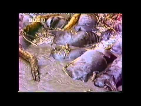 The Year of The Wildebeeste (Alan Root Documentary ITV Survival)