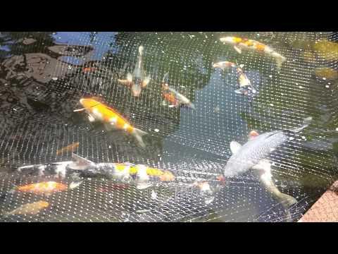 Koi carp male and female fish identification 1 of 3 for Reproduction carpe koi aquarium